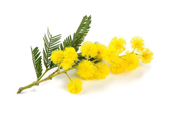 mimosa, isoliert auf weißem Hintergrund – Foto