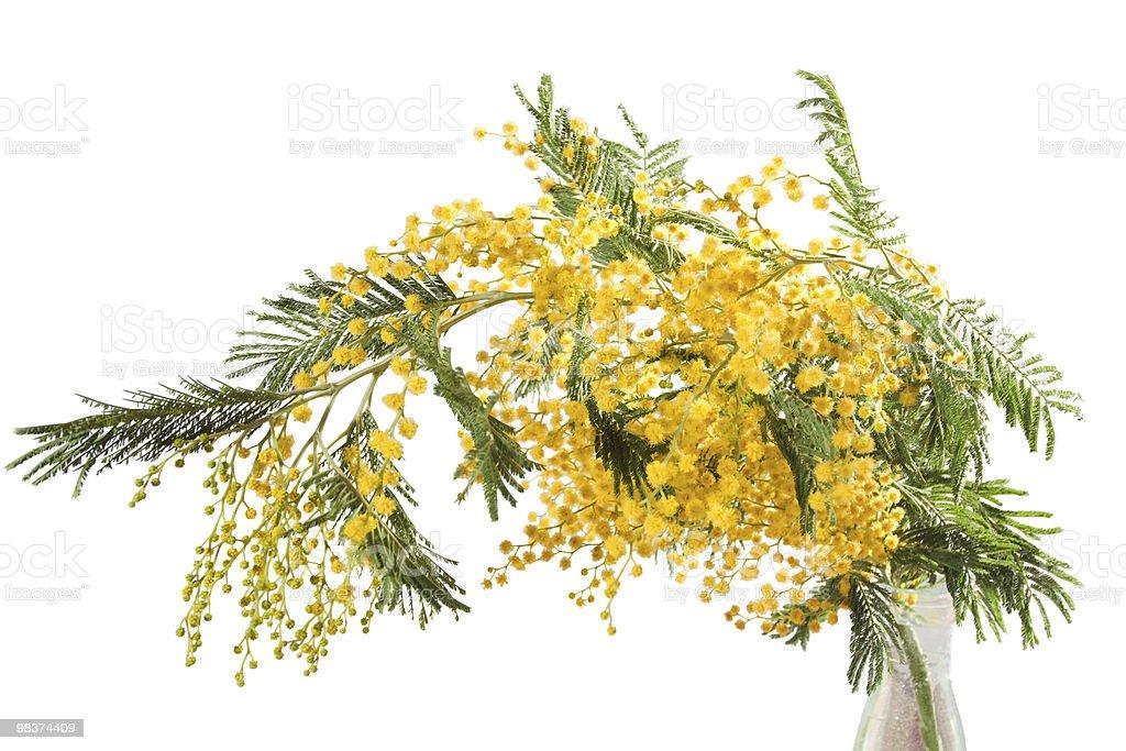 mimosa isolato foto stock royalty-free