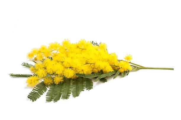 mimosa - immagini mimosa 8 marzo foto e immagini stock