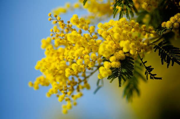 mimosa – Foto