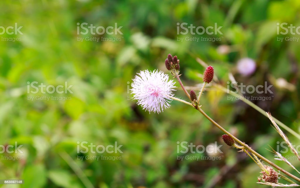 Mimosa Pudica, Also Called Sensitive Plant, Touch-Me-Not, or Shy Plant with Blurry Background stock photo