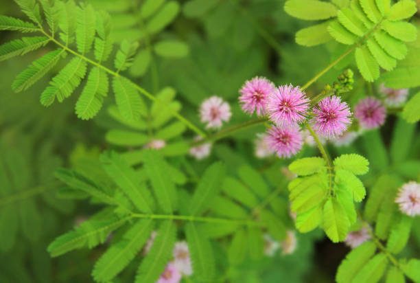 Mimosa pudica plant with pink flower in bloom stock photo