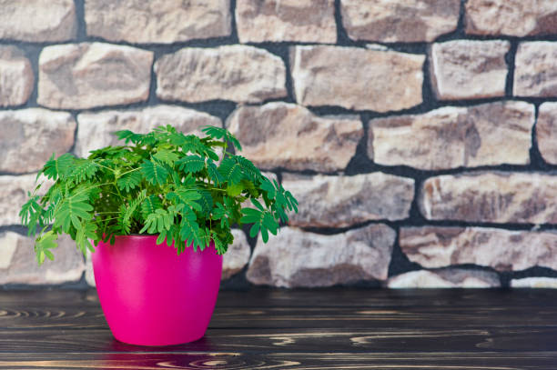 mimosa pudica, sensitive plant in a pink pot on a wooden surface in front of a wall stock photo