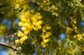 Beautiful spring flowers on mimosa tree branch (acacia dealbata) on background of green foliage and blue sky,  spring background, Women's day, Easter