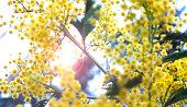 Mimosa tree flowering.