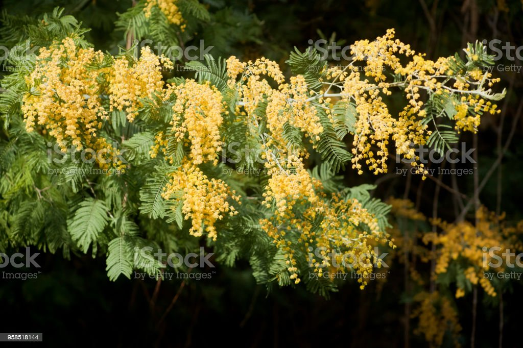 Mimosa Yellow Flowers And Acacia Bush Stock Photo More Pictures Of