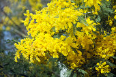 Mimosa flowers and acacia flowered  bush, invasive plant.  Horizontal close-up view suitable for background.  Early springtime in Galicia, Spain.