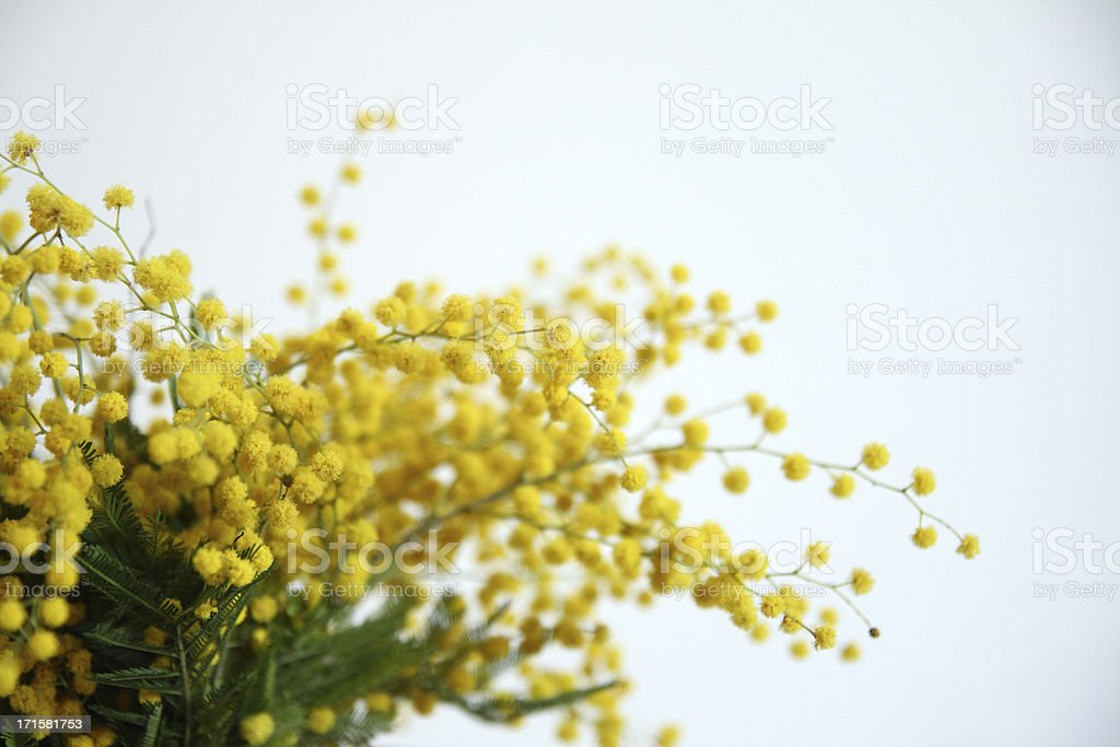 Mimosa yellow flowers stock photo