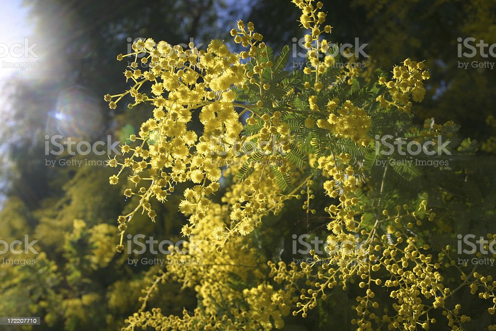 mimosa01 royalty-free stock photo