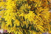 Fresh Yellow Mimosa Flowers Bouquet in Bloom