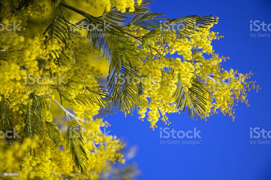 Mimose royalty-free stock photo