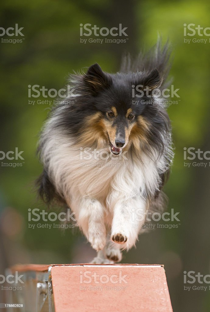 Minature Collie on agility Walkway royalty-free stock photo