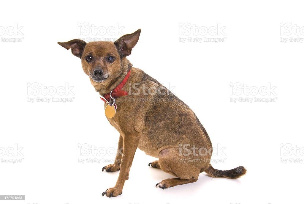 Minature Pinscher-Chihuahua Mix stock photo