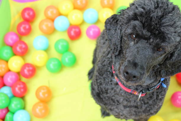 A Minature Poodle sits in a ball pit stock photo