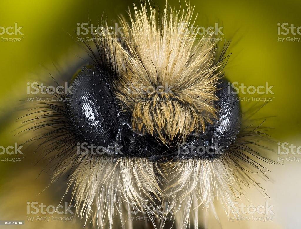 Miner bee (Andrena sp.) royalty-free stock photo