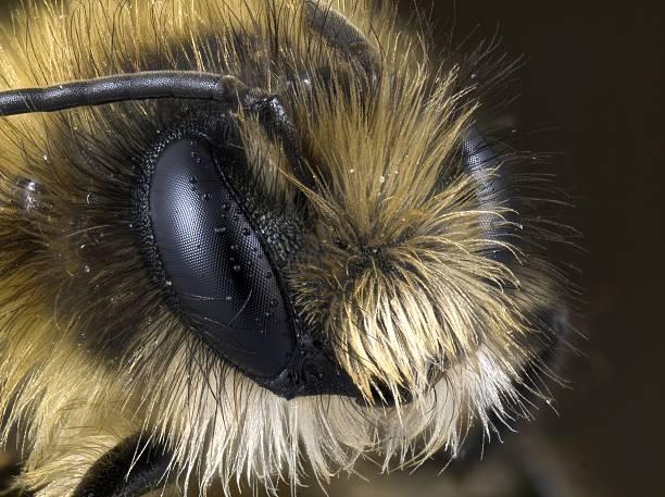Miner Bee stock photo