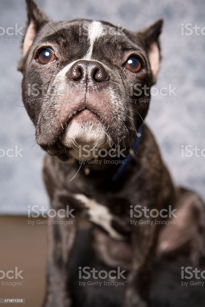 mini Bulldog royalty-free stock photo
