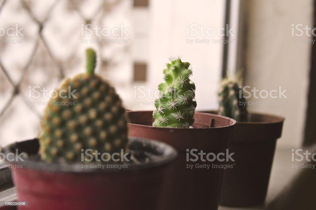 Photo libre de droit de Mini Cactus En Pot De Cray Jardin ...