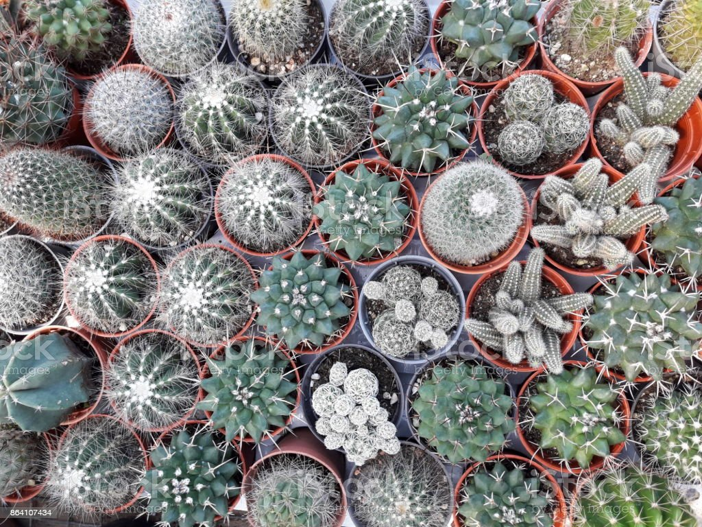 Mini cactus royalty-free stock photo
