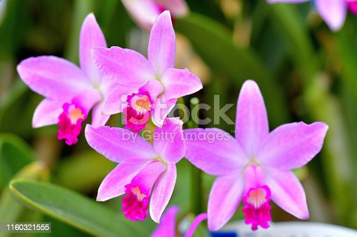 Mini Cattleyas are artificially produced by cross fertilization of cattleyas and their related genus. They are said to be the small treasures of the orchid world, which are suitable for windowsill. Many of the species bloom twice a year, or even three or more times with good culture.