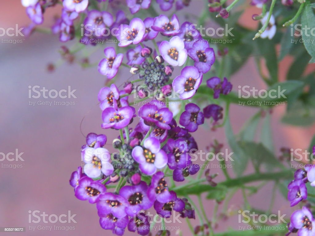 Mini Dark And Light Purple Flowers Stock Photo More Pictures Of