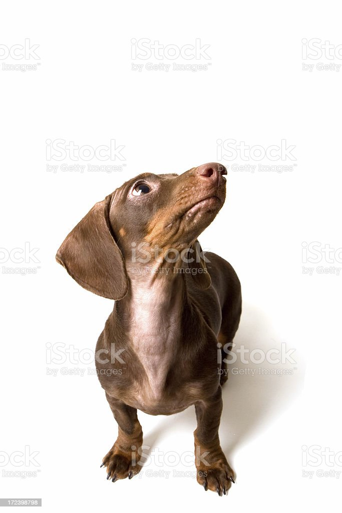mini dashund royalty-free stock photo