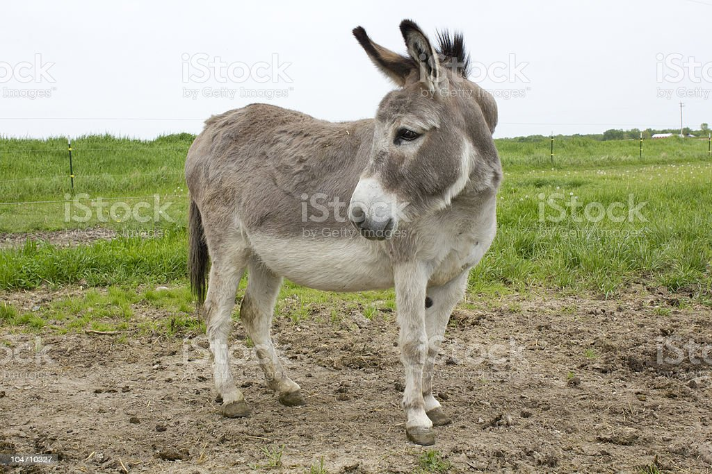 Mini Donkey On Pasture Stock Photo Amp More Pictures Of