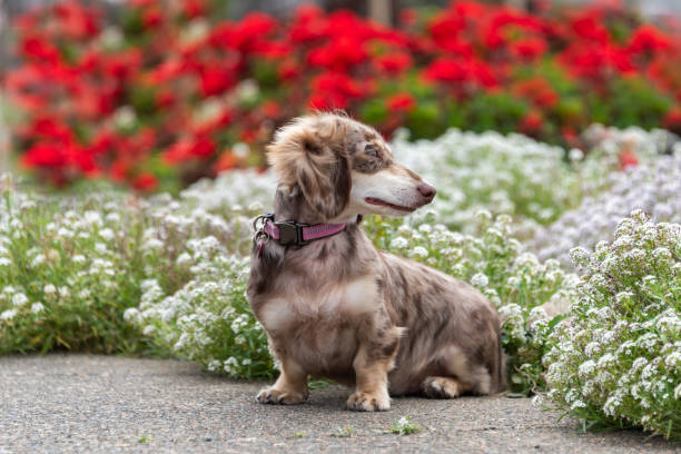 Mini Doxie Puppy Dog Weenie Wiener dog Dachshund White Red Alyssum stock photo