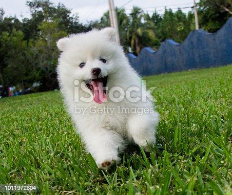 A mini eskimo dog, or Eskie
