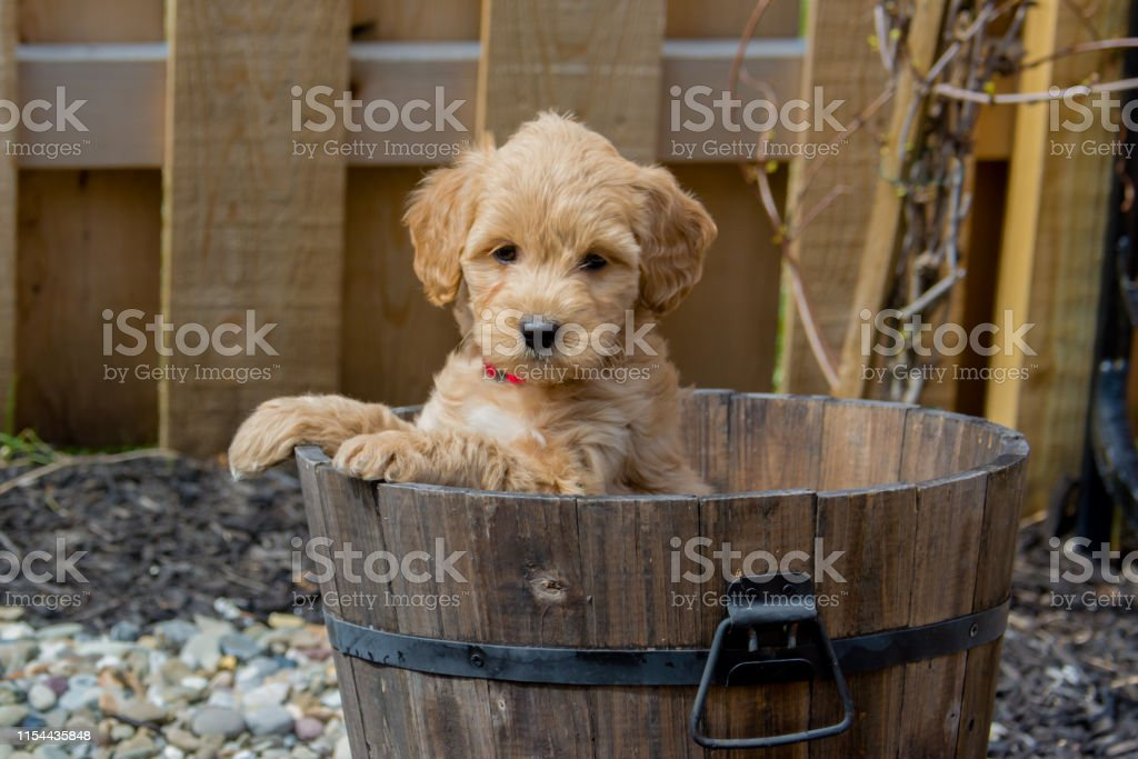 Mini Goldendoodle Puppy Showing Cuteness Stock Photo Download Image Now Istock