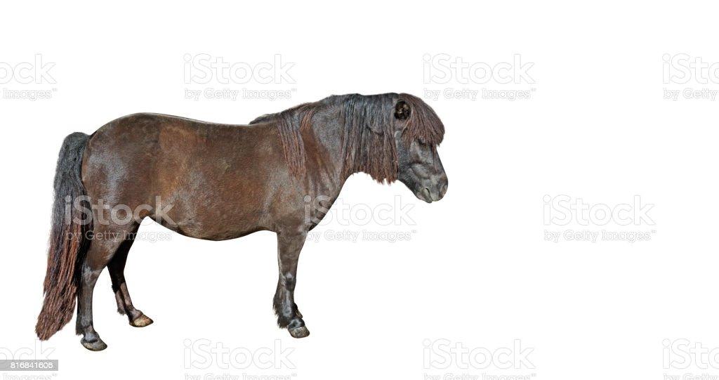 Mini Horse Falabella miniature on White Background stock photo