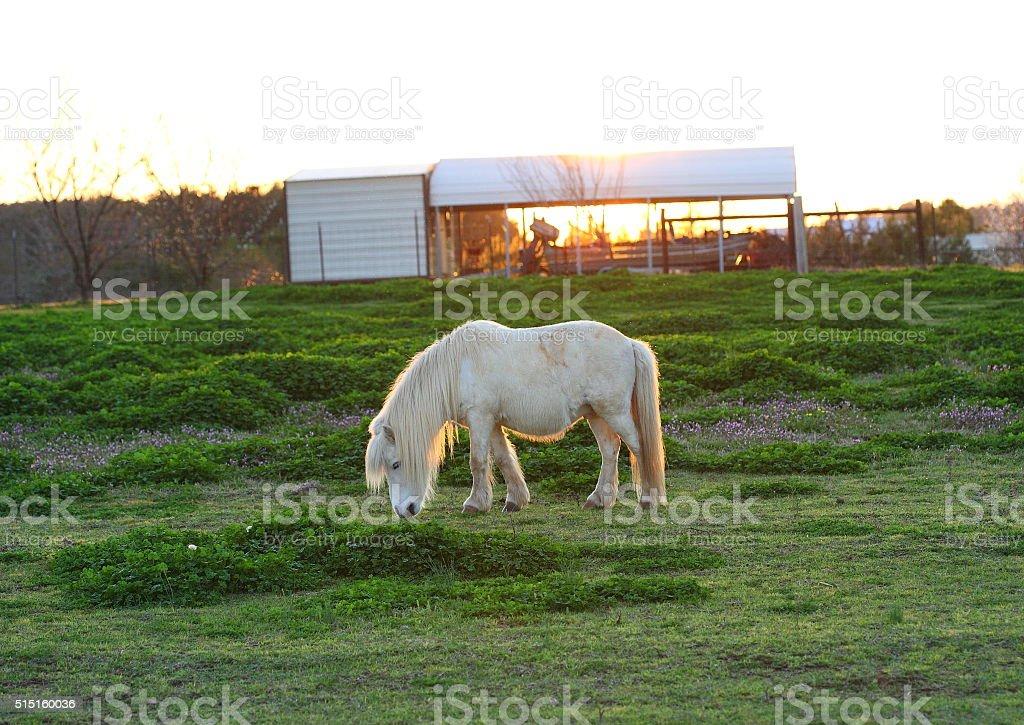 Mini Horse in Field stock photo