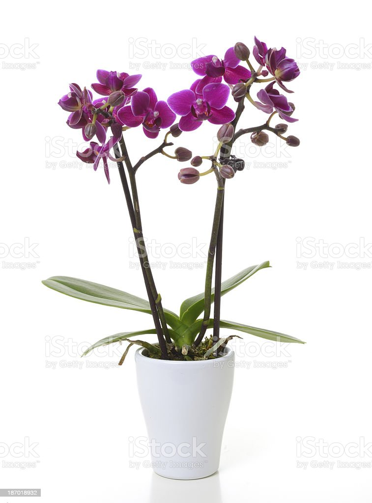 Mini orchid royalty-free stock photo
