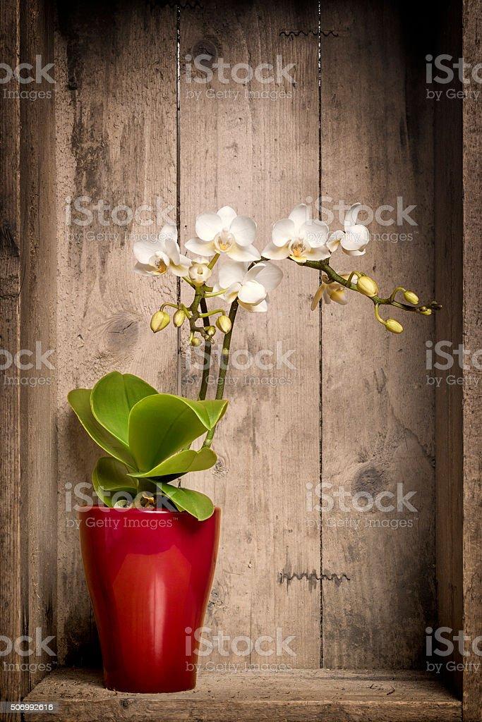 mini orchidee stock photo
