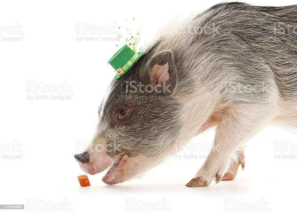 Mini Pig & Carrot royalty-free stock photo