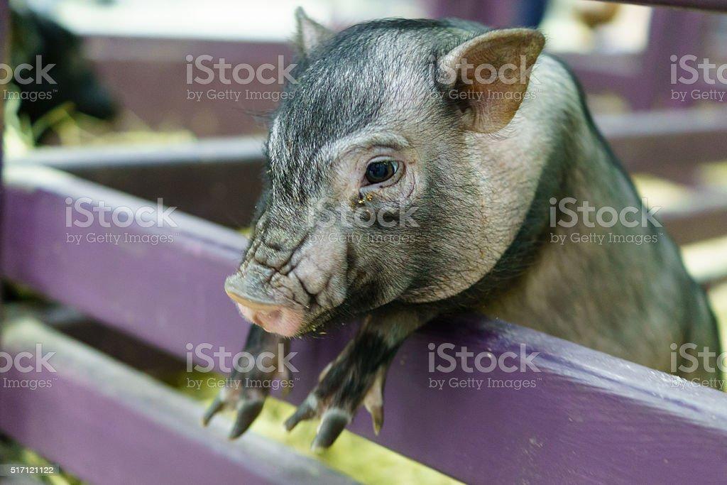 Mini Pig in a pen stock photo