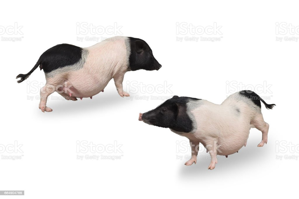 mini pig isolated on white background foto stock royalty-free
