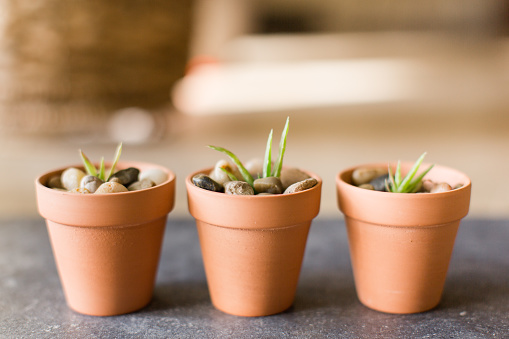 Mini Potted Aloe Vera Plants