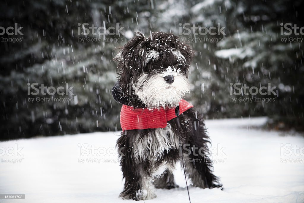 Mini schnauzer Puppy In A Snowstorm stock photo