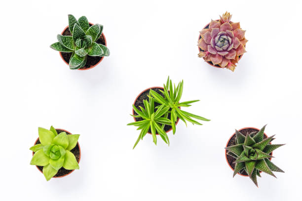 Mini succulent plants isolated on white background stock photo
