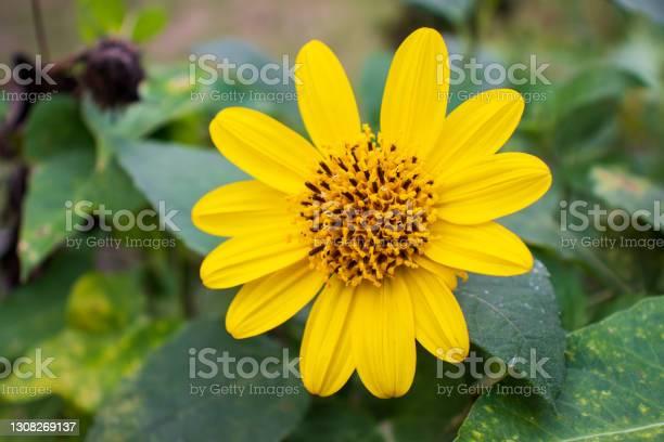 Photo of Mini sunflower (Heliopsis helianthoides)