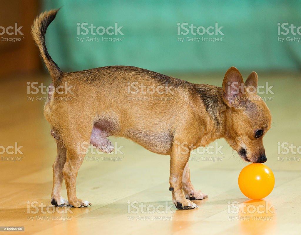 Mini Toy Terrier stock photo