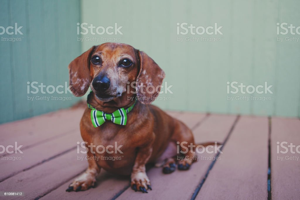 mini wiener dog wearing bow tie stock photo