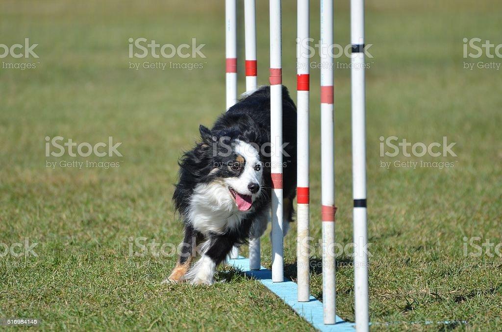 Miniature American (formerly Australian) Shepherd at Dog Agility Trial stock photo