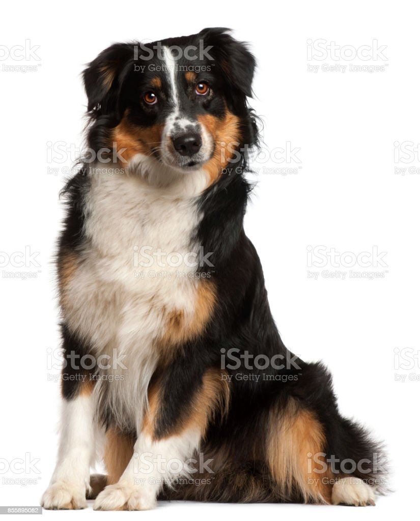 Miniature Australian Shepherd, 2 years old, sitting in front of white background stock photo