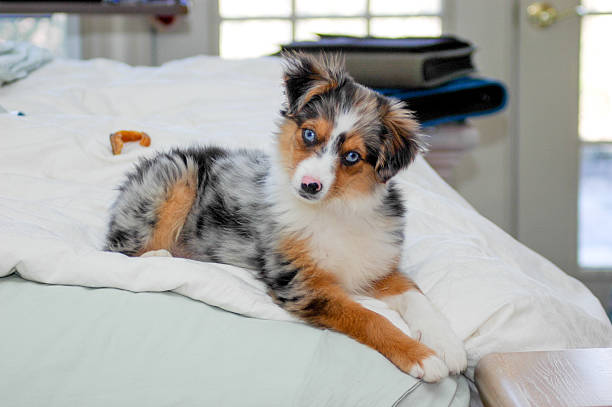 Miniature Australian Shepherd lounging on the bed A miniature Australian shepherd lounges on his owner's bed.  rr australian shepherd stock pictures, royalty-free photos & images