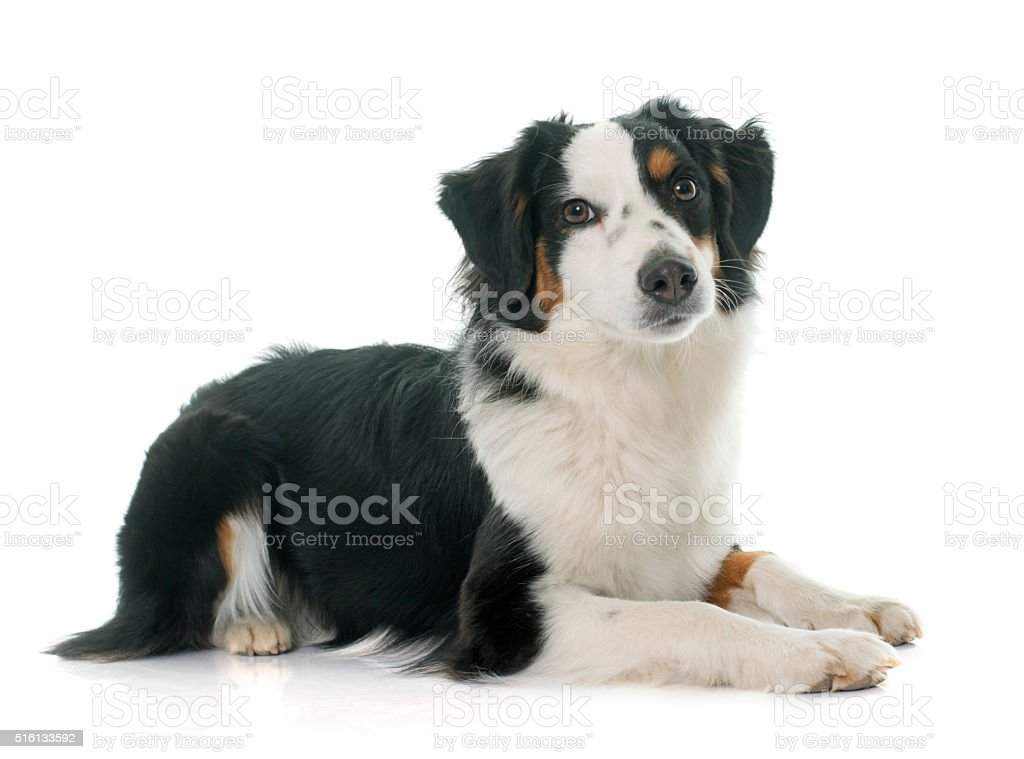 miniature australian shepherd stock photo