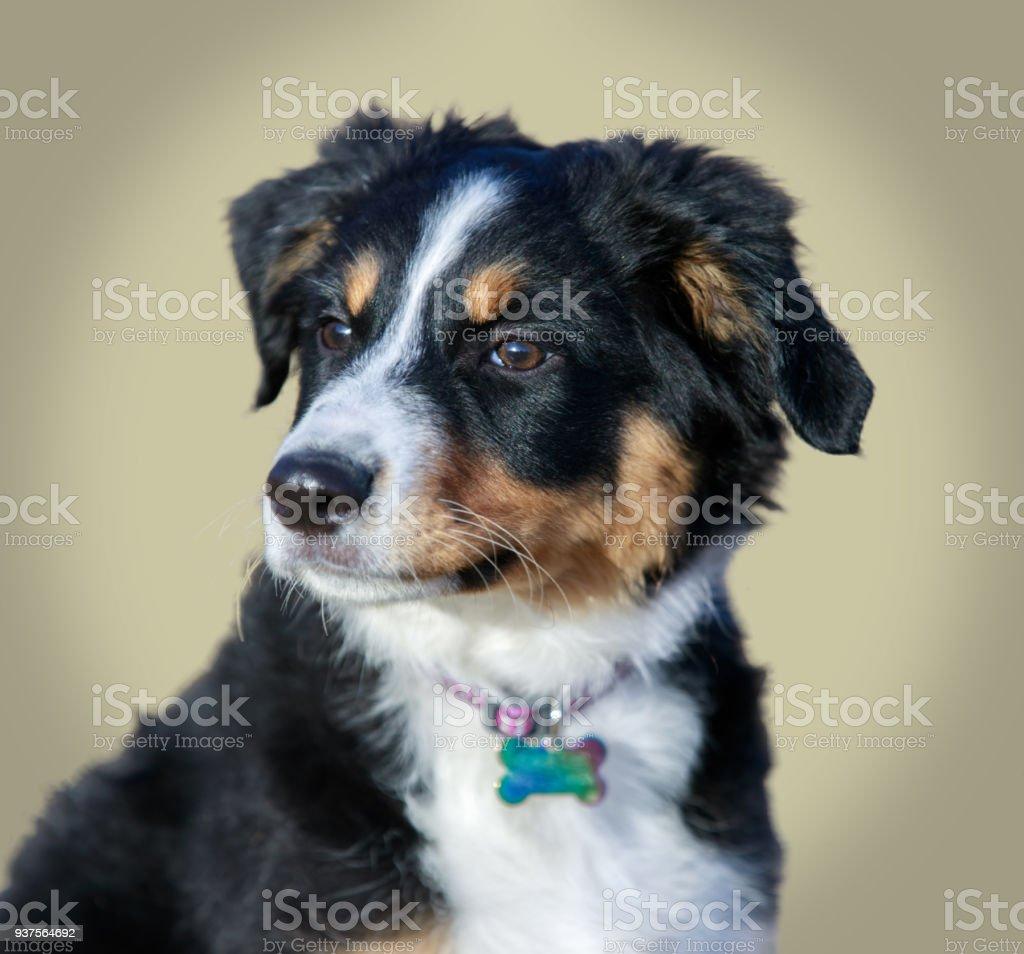 Miniature Australian Shepherd Puppy Female Headshot Stock Photo Download Image Now Istock