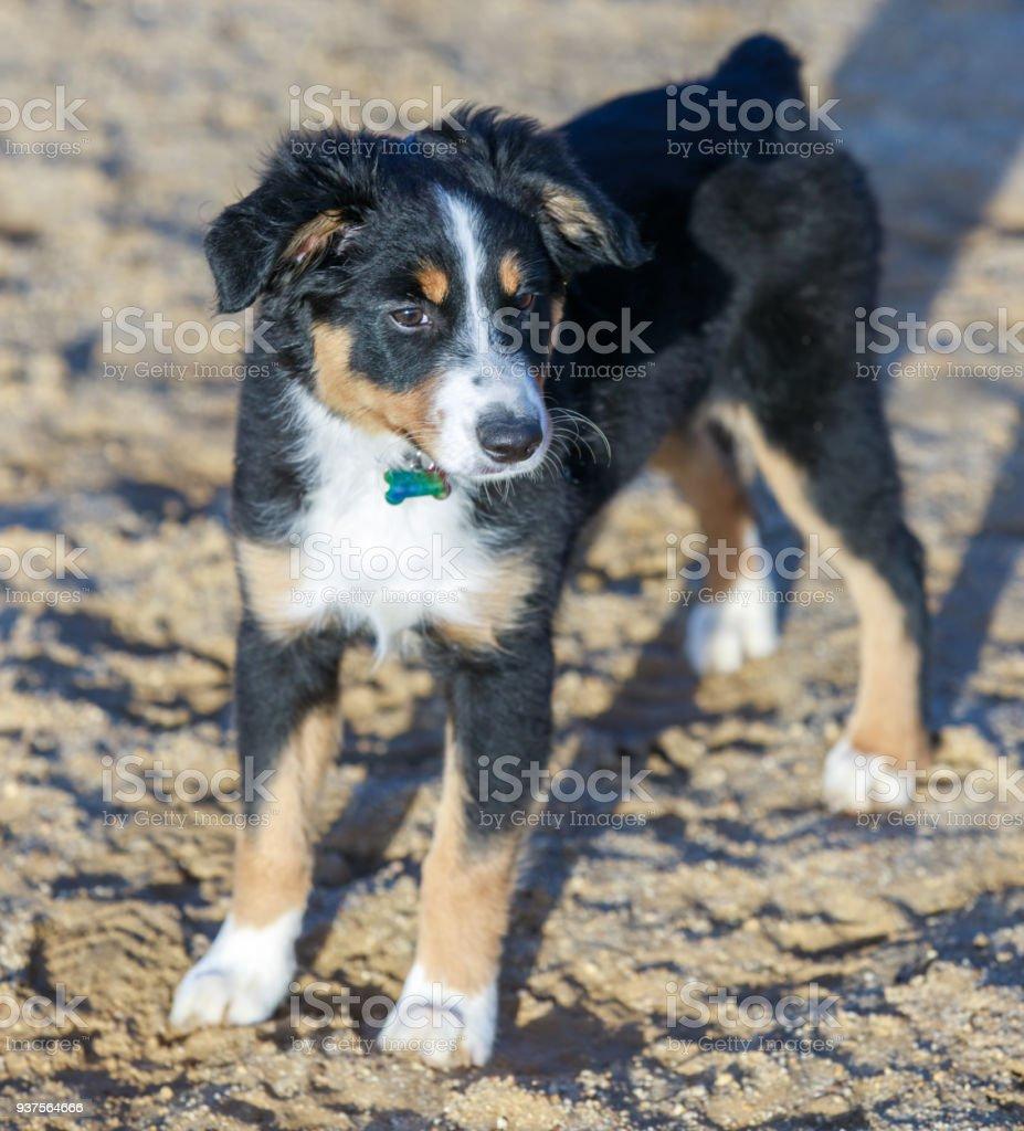 Fotografía de Miniatura Hembra De Cachorro De Pastor Australiano y ...
