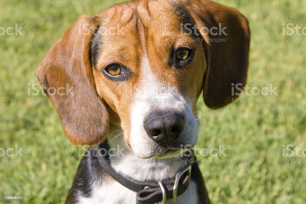 Miniature Beagle Puppy Stock Photo Download Image Now Istock